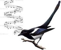 Harmony magpie