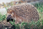 Arkan sonney (hedgehog)