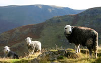 Herdwick sheep at Ullswater, from: http://www.shelwin.com/e/sheep/sheep.htm