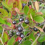 Photo of huckleberries