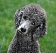 Pudelhund / Poodle