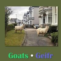 Goats / Geifr